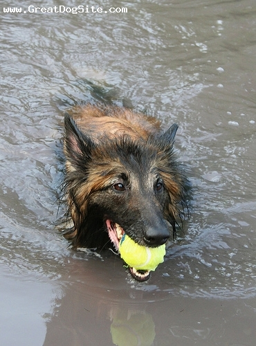 Belgian Tervuren, 3 years, Brown, he loves swimming
