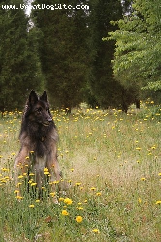 Belgian Tervuren, 3 years, Brown, he looks very wise
