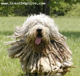 Bergamasco Sheepdog, adult, silver, Courtesy of Donna from Silver Pastori Bergamascos