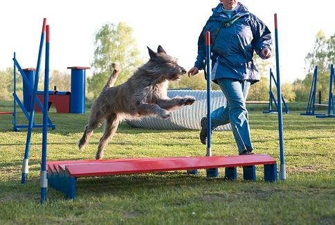 Berger De Picard, 1 year, Brown, jumping