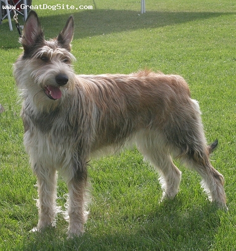 Berger De Picard, 2 years, Brown, great looking dog