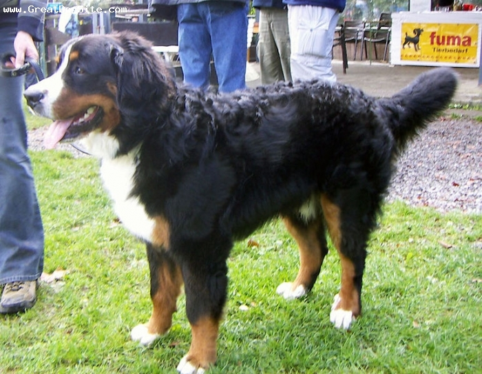 Bernese Mountain Dog, 2 years, Tri Color, outside