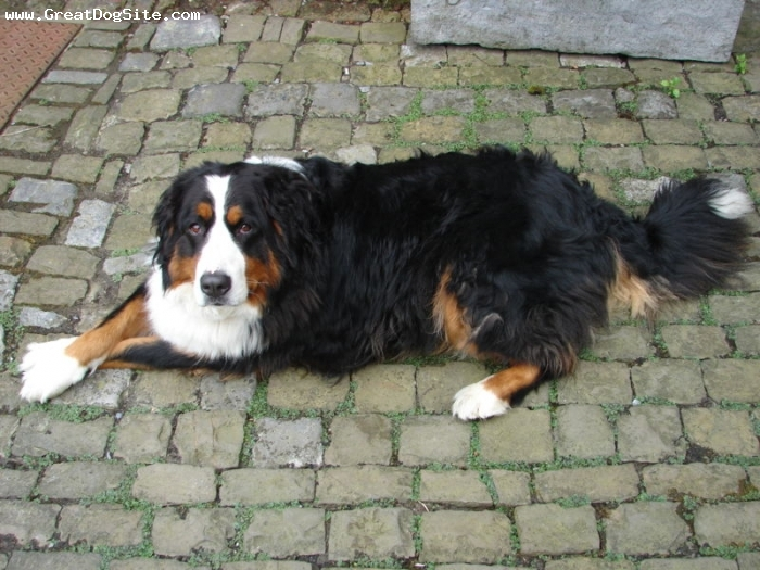 Bernese Mountain Dog, 2 years, Tri Color, laying down