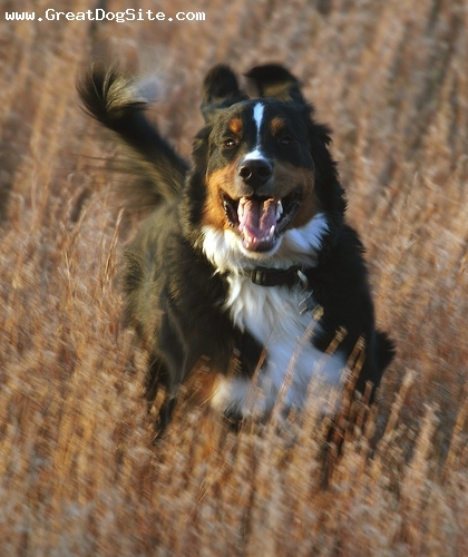 Bernese Mountain Dog, 2 years, Tri Color, Running in the field