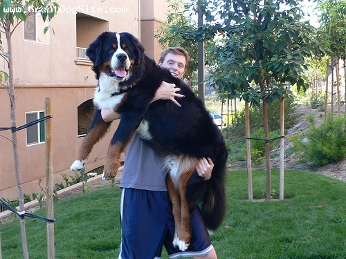 Bernese Mountain Dog, 2 years, Tri Color, my bub