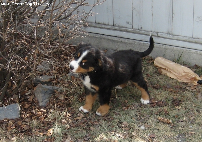 Bernese Mountain Dog, 8 weeks, Tri-Color, Beautiful and fun dog!  So hard to stay mad at that handsome face.  :)