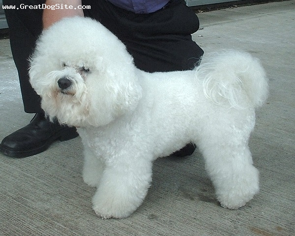 Bichon Frise, 1 year, White, fluffy