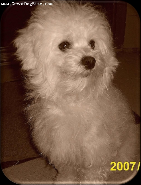 Bichon Frise, 1.5, white, She was rescued from a pound and is a blessing to to own.
