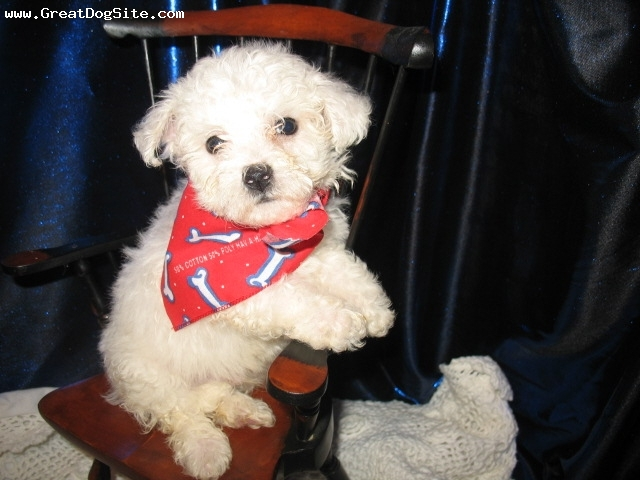 Bichon Frise, 2 mos, White, He is a doll!