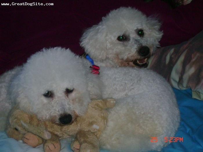 Bichon Frise, 4&5, White, Bryce has the red halter and is laying on the stuff animal in front and Briscoe has the blue halter in back