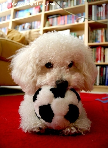 Bichon Frise, 8 months, White, My bichon with her toy