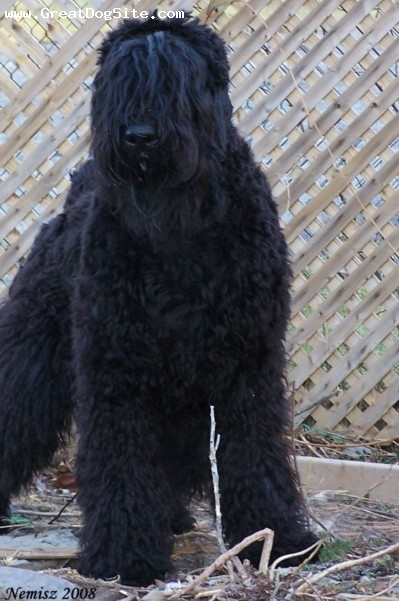 Black Russian Terrier, 1year, black, Illarion is owned and shown by Urban Legends kennel.