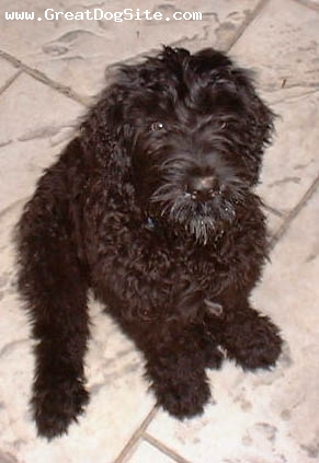 Black Russian Terrier, puppy, black, Just of the plane.