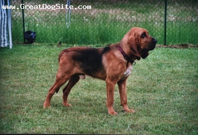 Bloodhound, 1.5 years, Brown, Posing