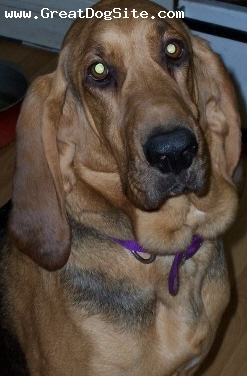 Bloodhound, 3, Black and Tan, Bl & tan female bred for show used is SAR.