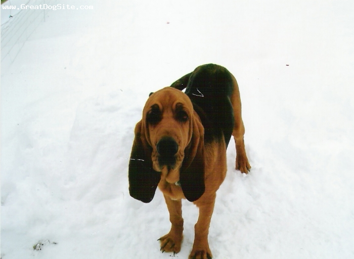 Bloodhound, 6 months, Black and Tan, Bl&tan Male from first litter who went to Illinois