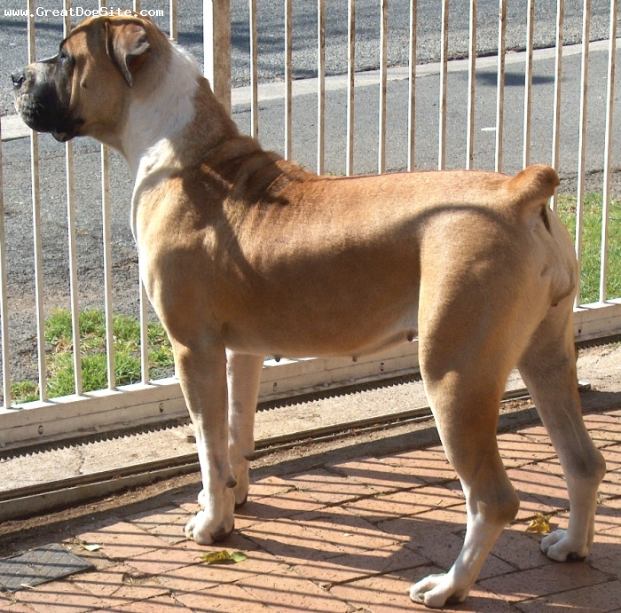 Boerboel, 14months, red and white, excellent show dog