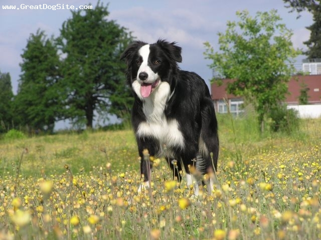 Border Collie, 3 years, White, my Border Collie in the field