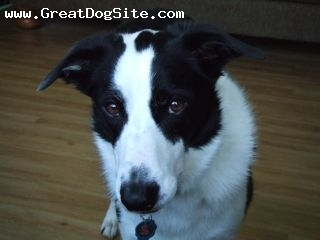 Border Collie, 4, black & white, what an attention seeker