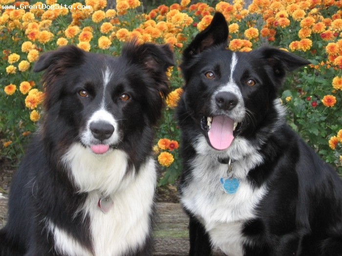 Border Collie, 5 & 3, black & white, Mirk and Molly posing for a picture