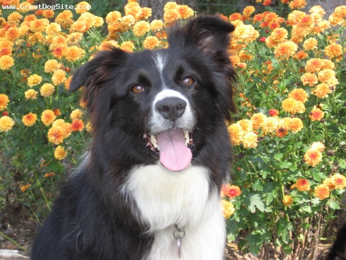 Border Collie, 5, black & white, Posing with the pretty flowers