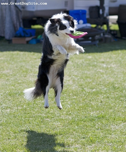 Border Collie, 9 months, White, my Border Collie catching her frisbee