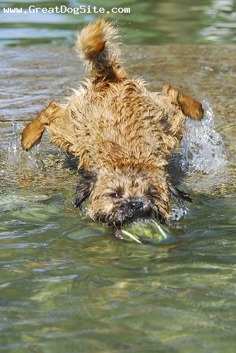 Border Terrier, 1 year, Brown, Playing in the water with her ball
