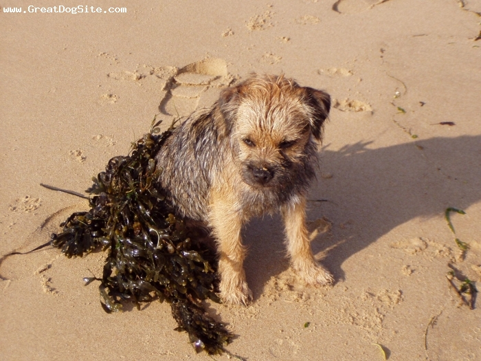 Border Terrier, 10 months, Red Grizzle, This my french border terrier Cheitan and I love it ! Here, Cheitan is on the beach... :-)