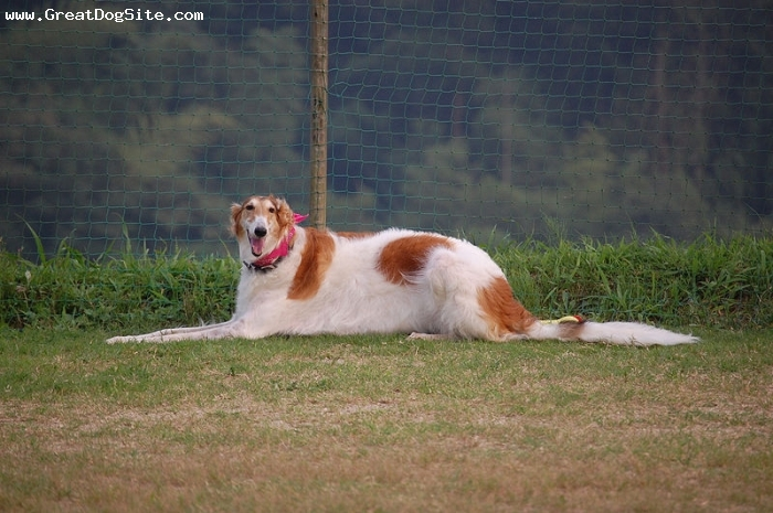 Borzoi, 1.5 years, Brown and White, laying down. hes very tall
