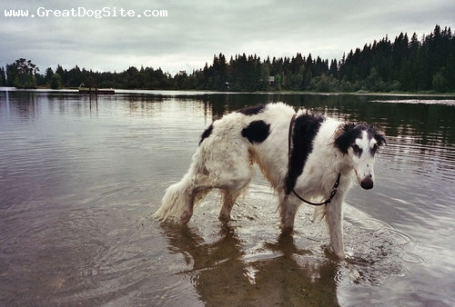 Borzoi, 2 years, Black and White, he loves water