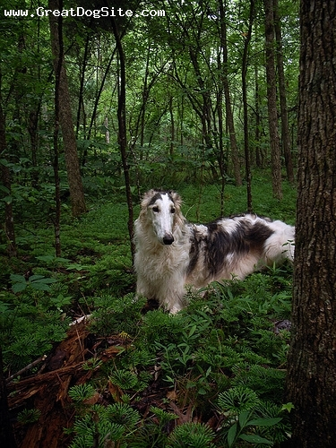 Borzoi, 2 years, White, laying down