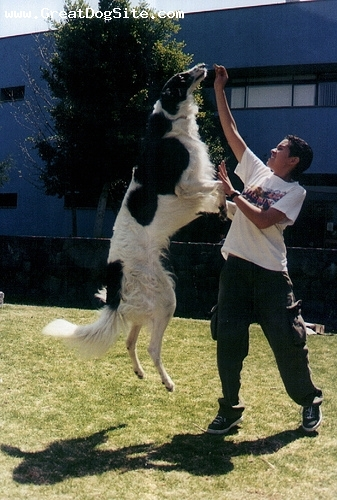 Borzoi, 3 years, Black and White, jumping around