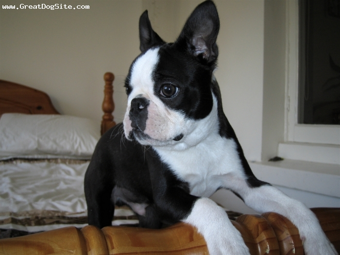 Boston Terrier, 5 Months, Black & White, Our Darling little Boomahoo