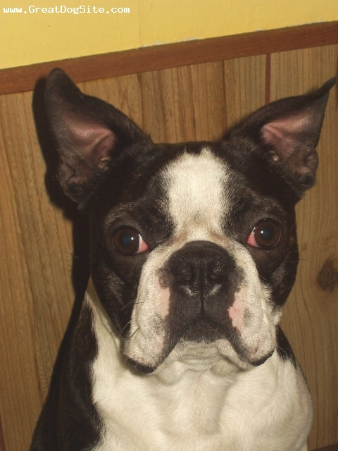 Boston Terrier, one year, Brindle and white, A very nice breeder and show dog.