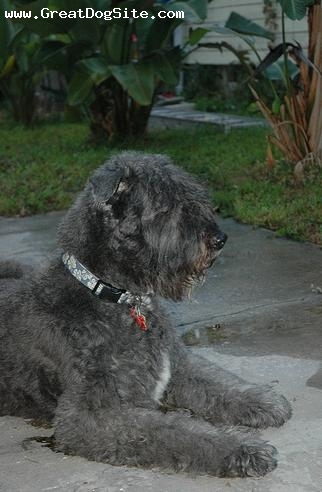 Bouvier des Flandres, 1.5 years, Gray, the puddle again