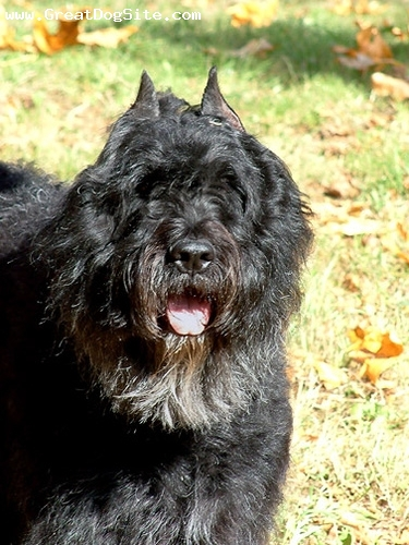 Bouvier des Flandres, 5 years, Gray, hanging out