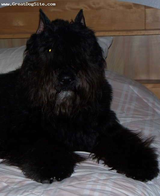 Bouvier des Flandres, 8 MONTHS, BLACK, UKC CHAMPION MAJESTIC SHADOW OF RILEY