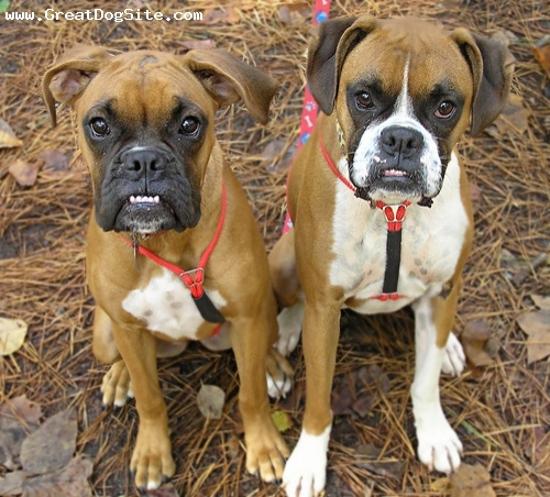 Boxer, 1 year, Brown, young boxer puppies