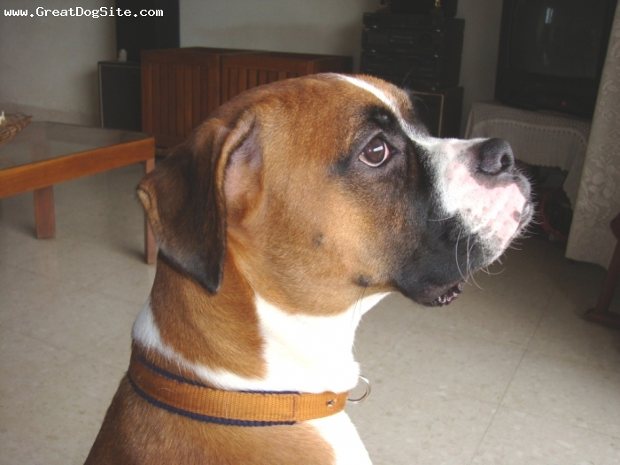 Boxer, 11 MONTHS, BROWN, Spike pensive