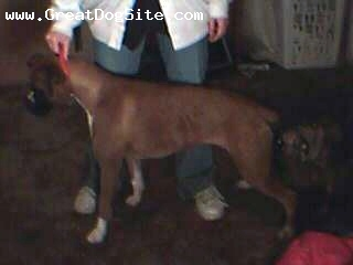 Boxer, 2, Fawn, She is ckc registered.Flashy fawn female