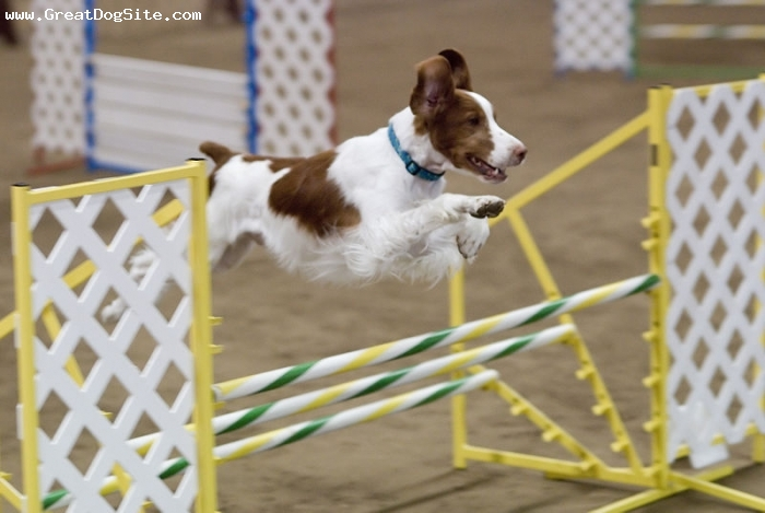 Brittany Spaniel, 1 year, Brown, at a dog show