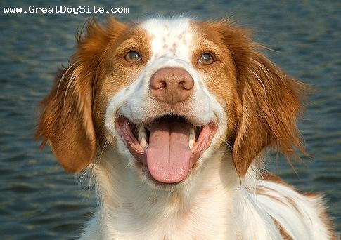 Brittany Spaniel, 1 year, Brown, Smiling