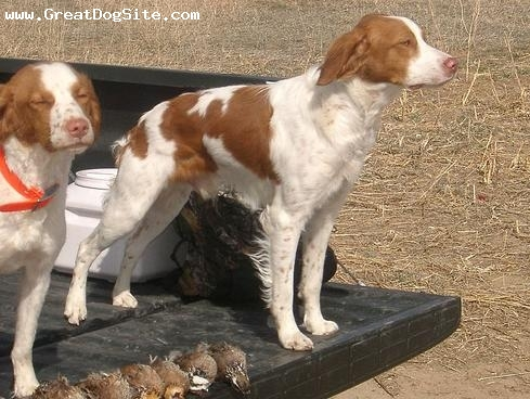 Brittany Spaniel, 1 year, Brown, after the hunt
