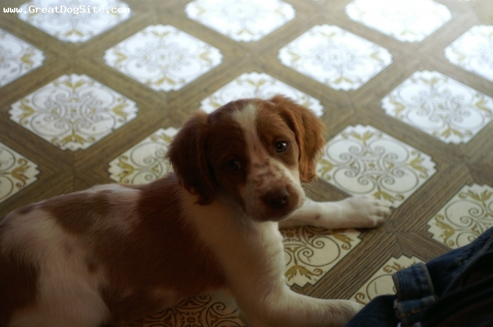 Brittany Spaniel, 2 months, Liver & white, Wow it's a big world!