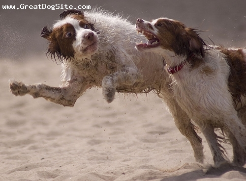 Brittany Spaniel, 2.5 years, Brown, Playing with his buddy