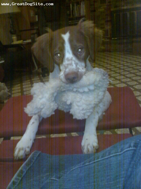 Brittany Spaniel, 4 months, Liver & white, Showing me her wooly