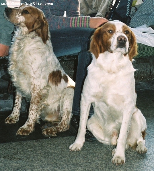 Brittany Spaniel, 4 years, Bron, Sitting around
