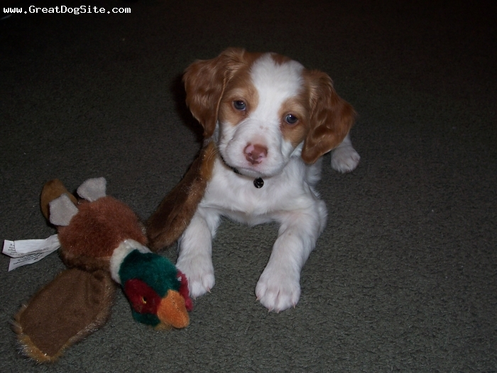 Brittany Spaniel, 7 weeks, White and Orange, Lacey loves the birds!