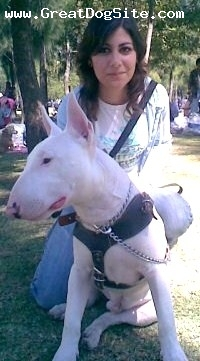 Bull Terrier, 1, white, cute