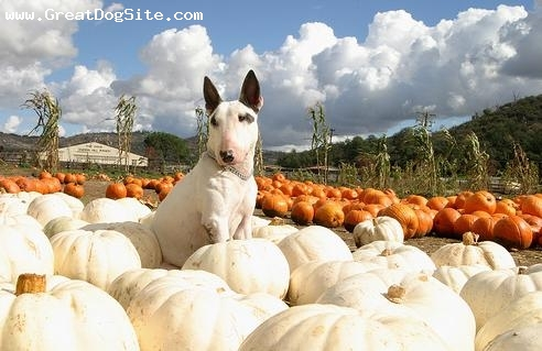 Bull Terrier, 1.5 years, White, pumkin party